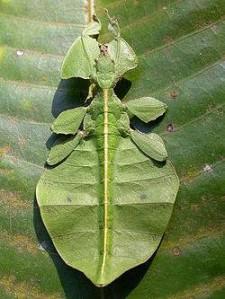 Insectes herbivores
