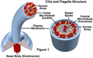 cilia-and-flagella3