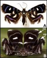 Papillon araignée